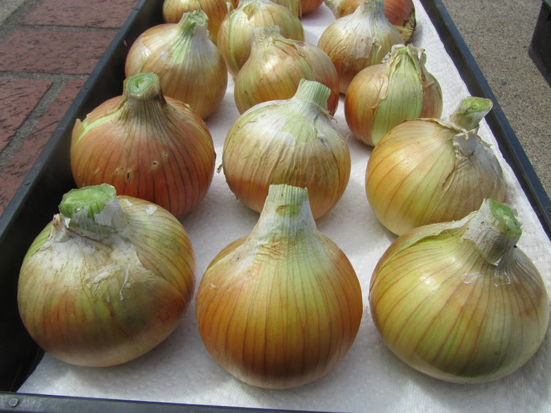Onion, Yellow Spring Cortland- organic