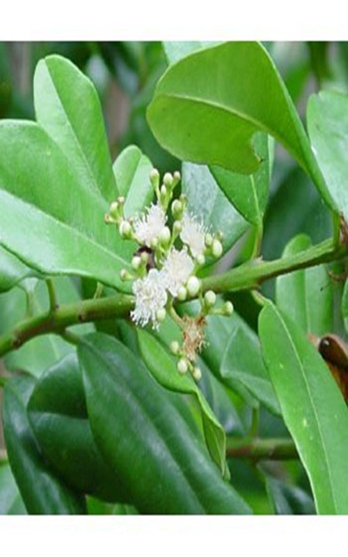 Bay Laurel Pure Essential Oil