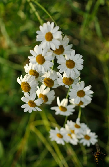 Chamomile, Roman Pure Essential Oil
