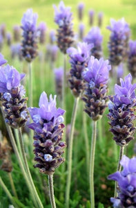 Lavender 40/42 Pure Essential Oil