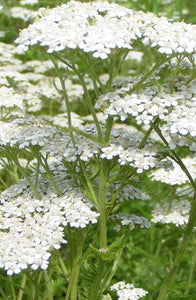 Blue Yarrow Pure Essential Oil