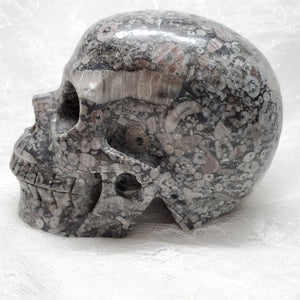 "5"" Crinoid Fossil Anatomical Skull"