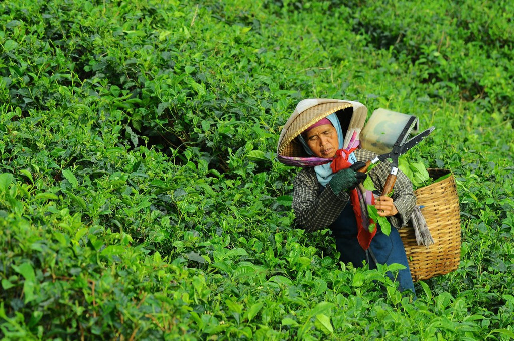 Tea fields picker in Indonesia