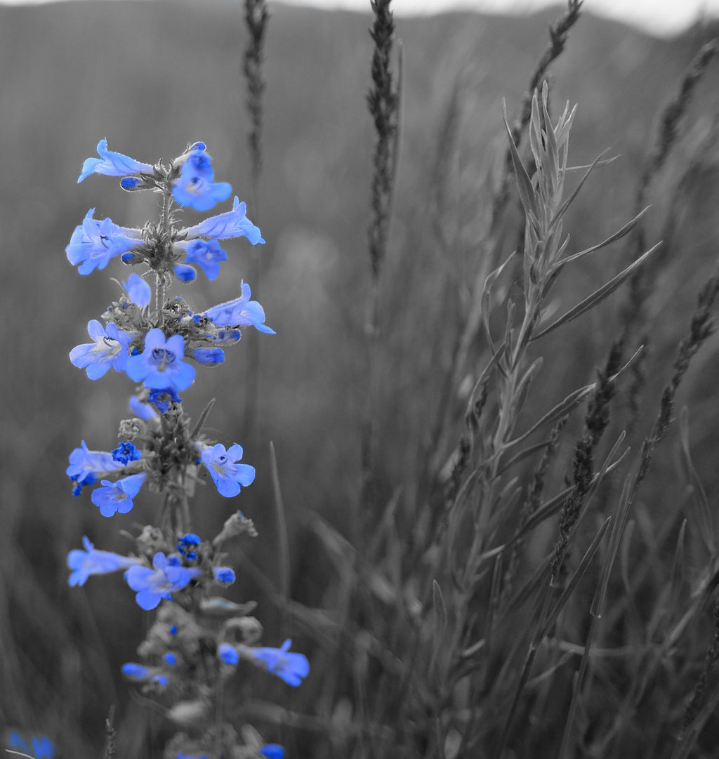 Blue flower in a field