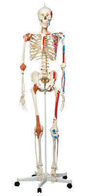 Anatomical Model - Sam the super skeleton on roller stand