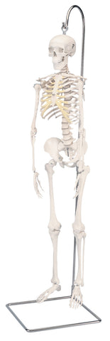 Anatomical Model - Shorty the mini skeleton on hanging stand