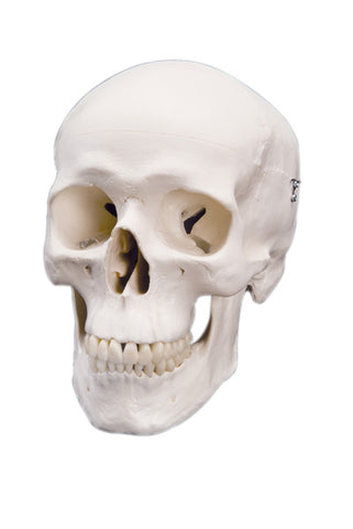 Anatomical Model - classic skull, 3 part