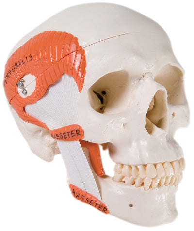 Anatomical Model - functional skull, 2 part with masticator muscles