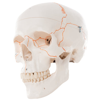 Anatomical Model - classic skull, 3-part numbered