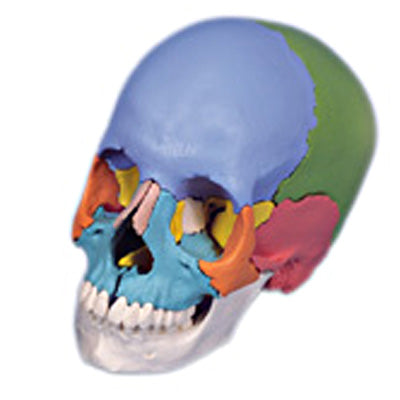Anatomical Model - didactic skull, Beauchene 22-part