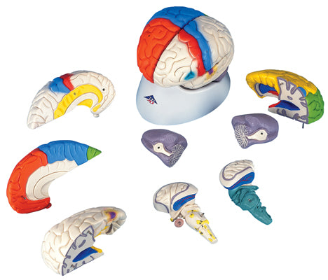 Anatomical Model - deluxe brain neuro-anatomical, 8-part