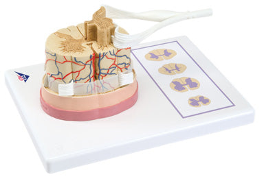 Anatomical Model - spinal cord with nerve branches