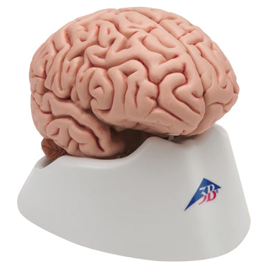 Anatomical Model - classic brain 5-part