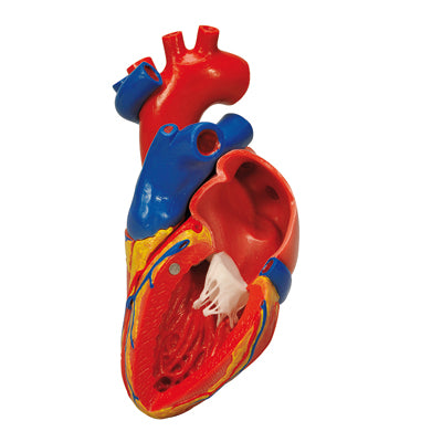 Anatomical Model - heart with bypass, 2-part: