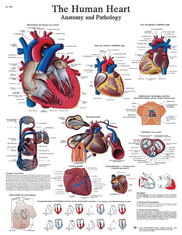 Anatomical Chart - human heart