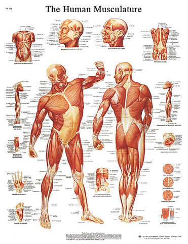 Anatomical Chart - musculature