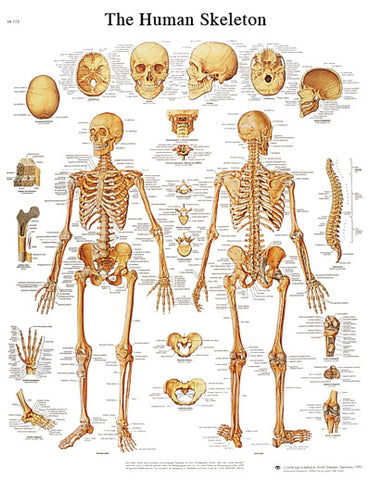 Anatomical Chart - human skeleton