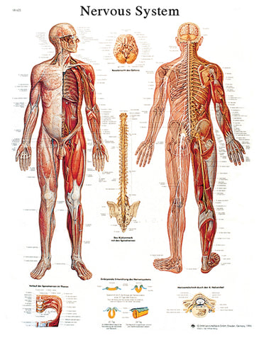Anatomical Chart - nervous system chart
