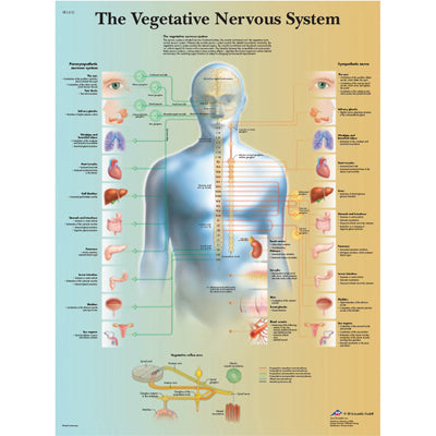 Anatomical Chart - vegetative nervous system