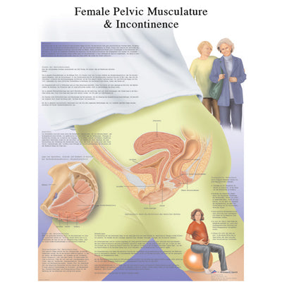 Anatomical Chart Female Urinary Incontinence Chart Clinomed