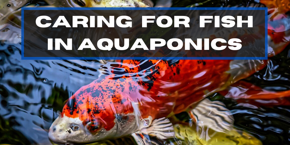 Caring for Fish in Aquaponics