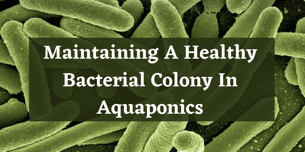 Maintaining A Healthy Bacterial Colony In Aquaponics
