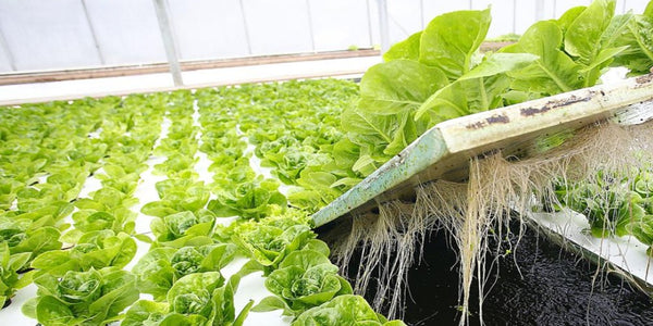 Lettuce in Raft System of Aquaponics
