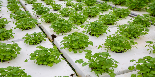 Growing Plants in Rafts System of Aquaponics