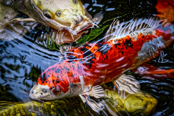 Koi Fish in Aquaponics