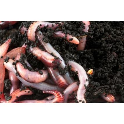 1 LB (1000) Live Red Wiggler Composting Worms - Aquaponics For Life