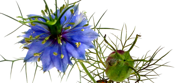 Oasis Black - Nigella Sativa flower and seed pod
