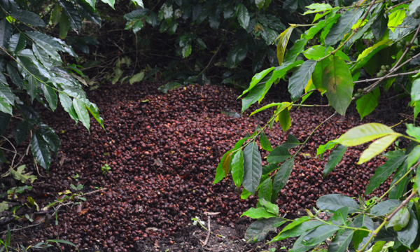 Young people lead the adaptation to climate change in Fairtrade coffee