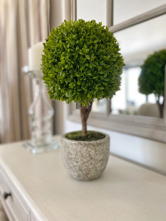 Boxwood Tree