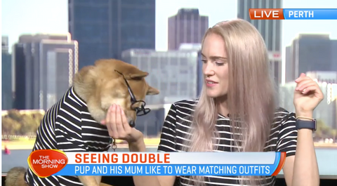 Rollo Shiba wearing Miso & Co in channel 7