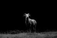 Mountain Sheep 1