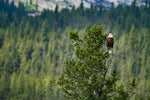 Bald Eagle One