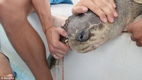 People removing a straw from the turtle's nose.