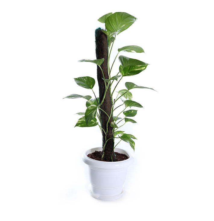 Iq Air Filters >> Money Plant Online: Buy Money Plant tree Online in India – BreatheEasy