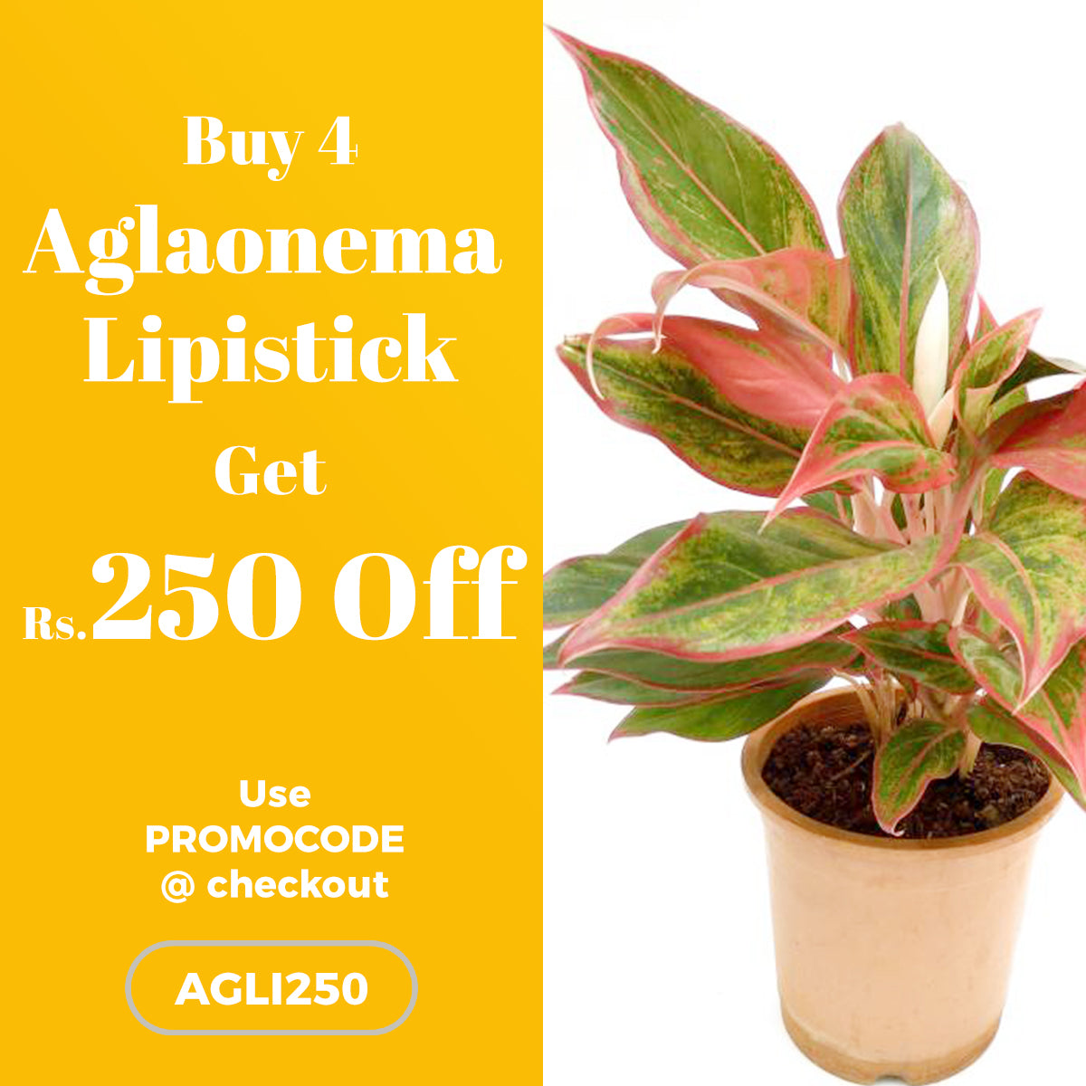 Buy 4 Aglaonema Lipistick Plant and get Rs.250 OFF
