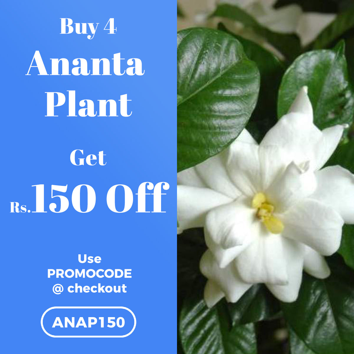 Buy 4 Ananta Plant and get Rs.150 OFF