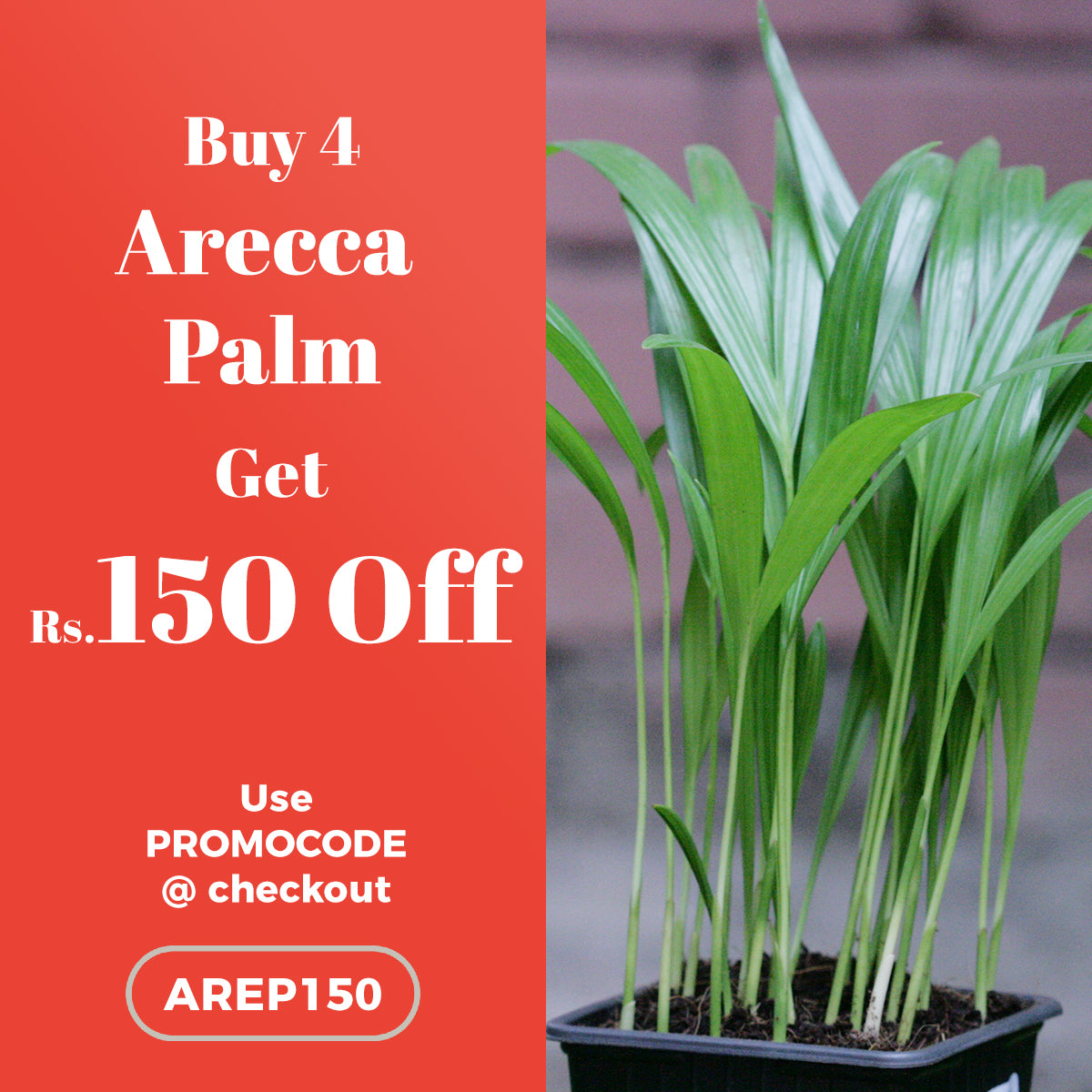 Buy 4 Arecca Palm and get Rs. 150 OFF