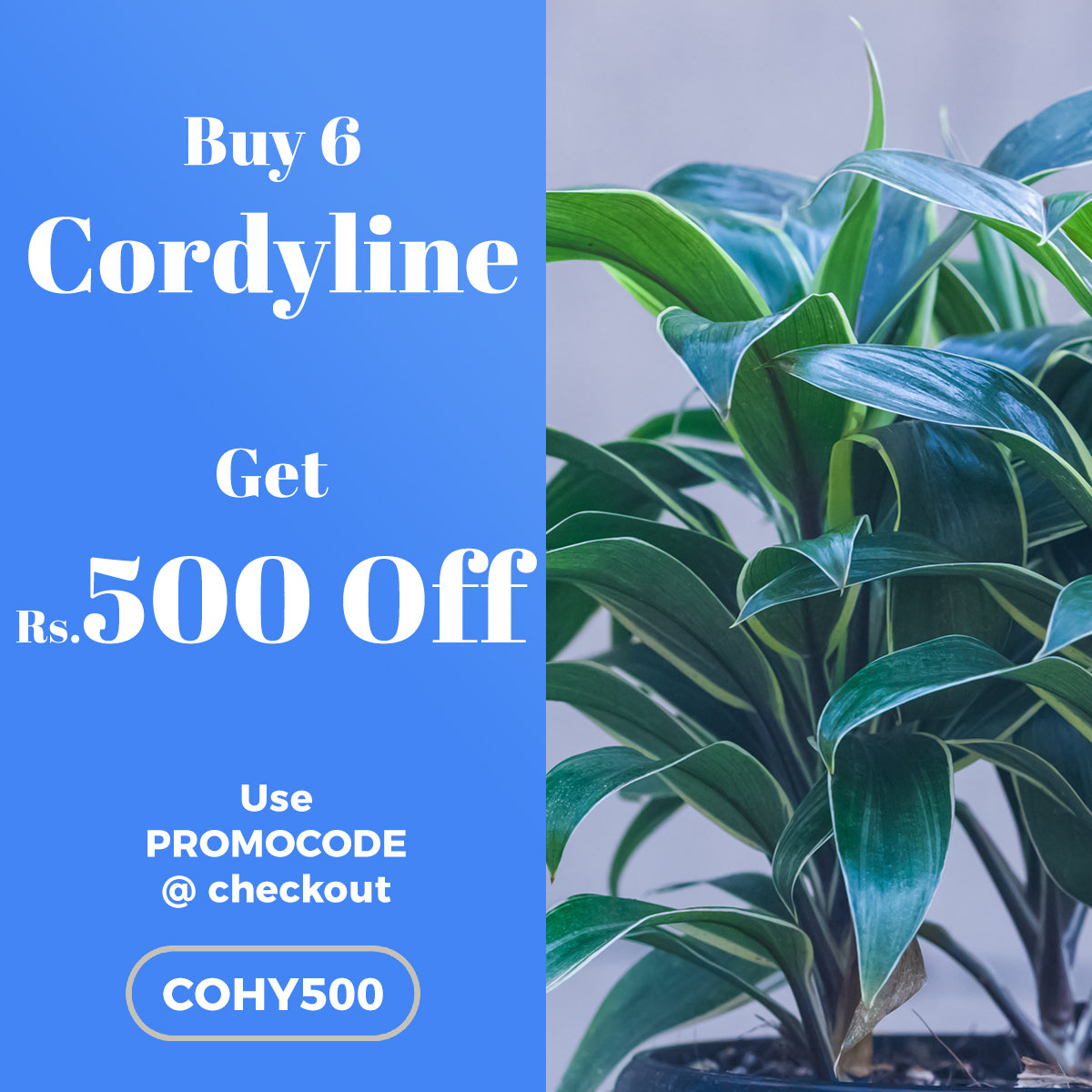 Buy 6 Cordyline Fruticosa and get Rs.500 OFF