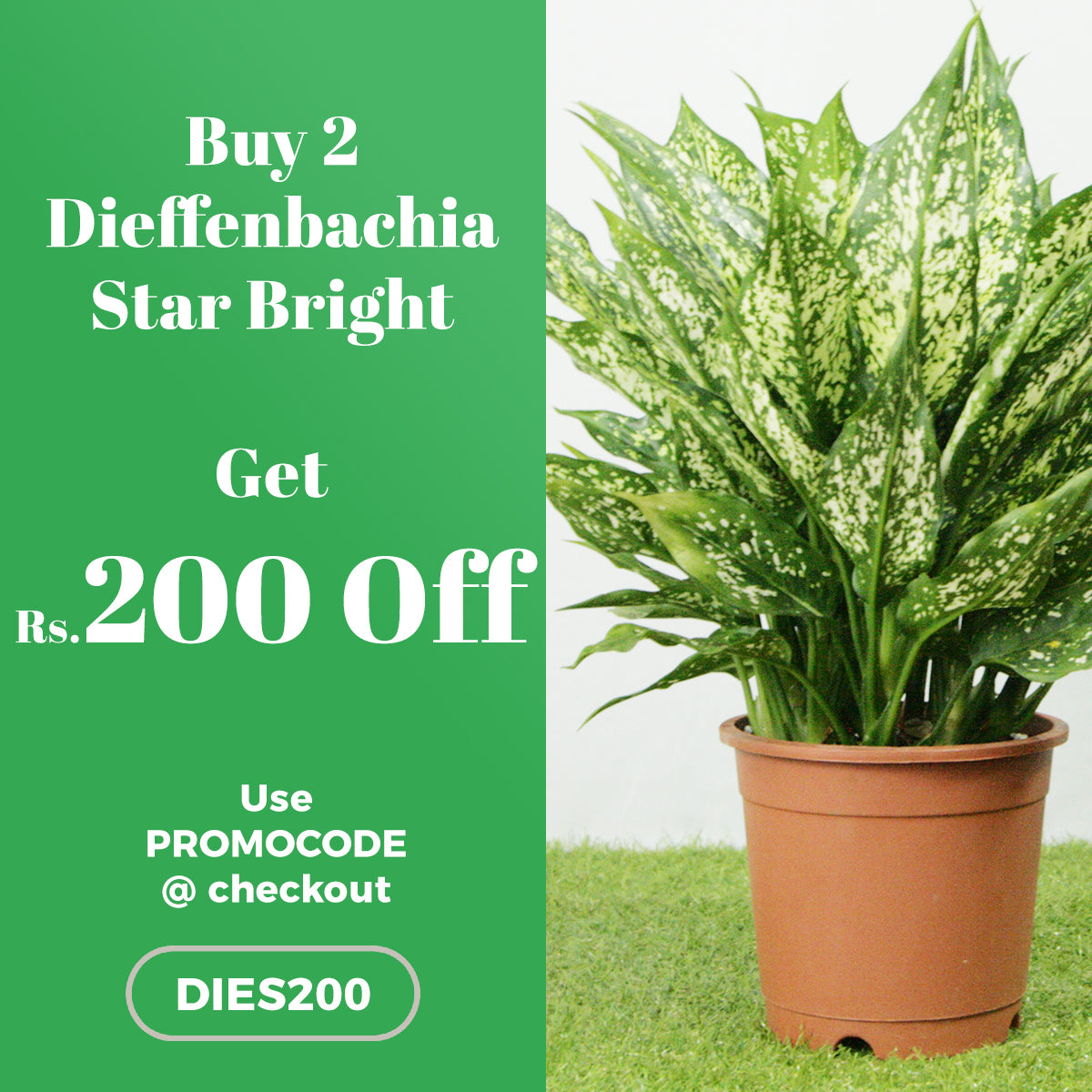 Buy 2 Dieffenbachia Star Bright Plant and get Rs.200 OFF