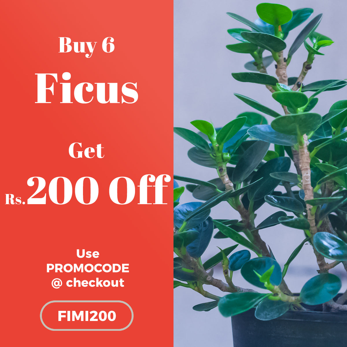 Buy 6 Ficus Plant and get Rs.200 OFF