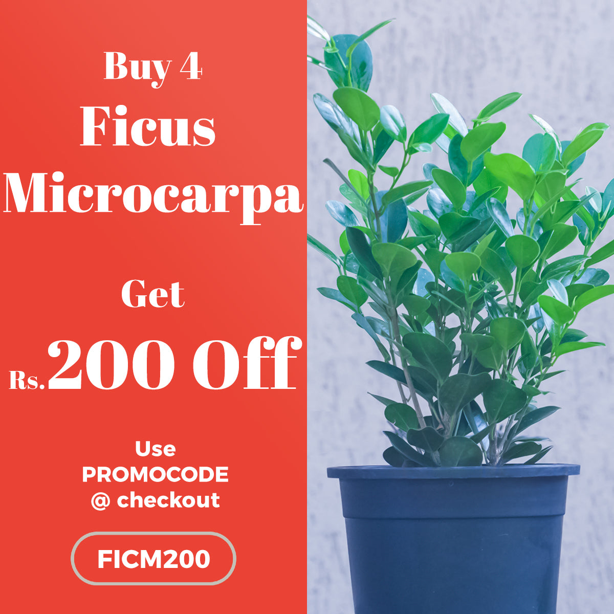 Buy 4 Ficus Microcarpa Plant and get Rs.200 OFF