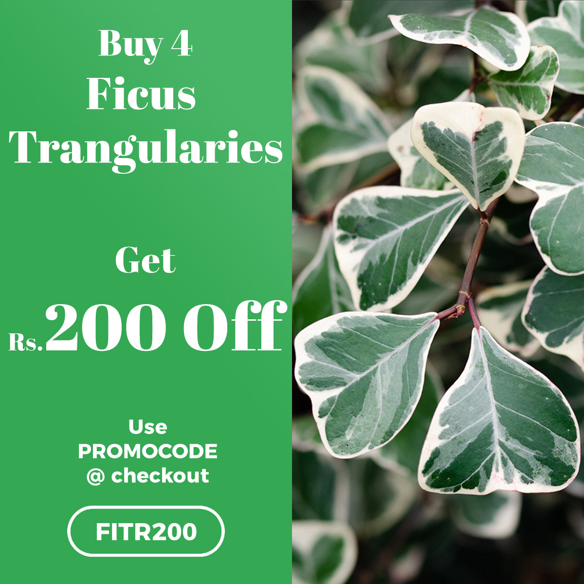 Buy 4 Ficus Trangularies Plant and get Rs.200 OFF