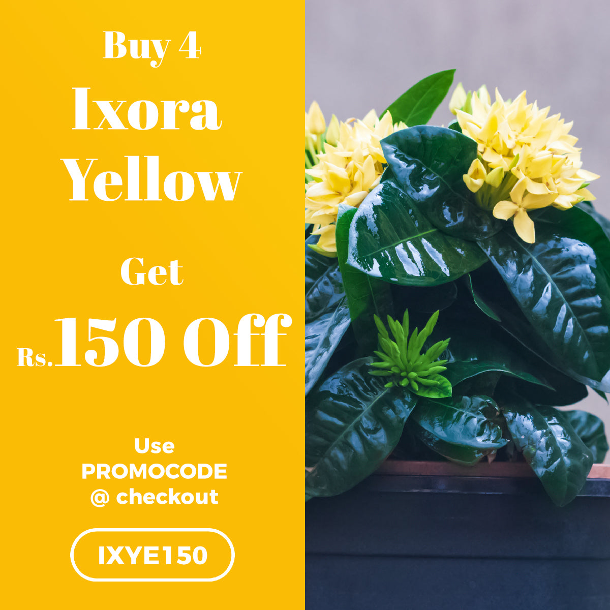 Buy 4 Ixora Dwarf Yellow and get Rs.150 OFF