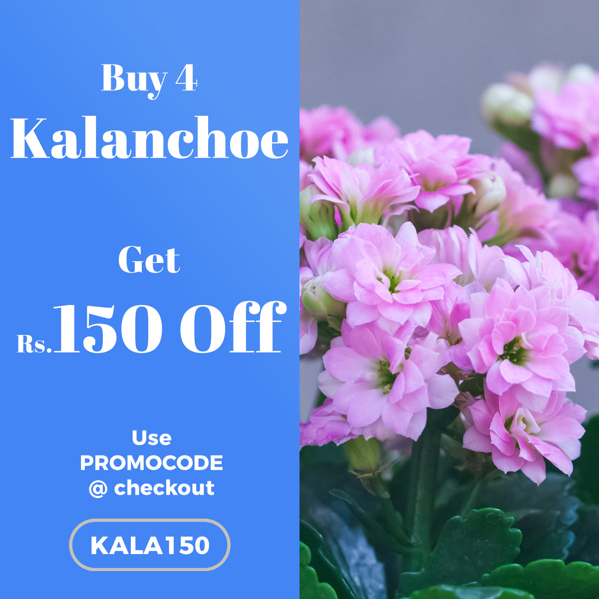 Buy 4 Kalanchoe Plant and get Rs.150 OFF