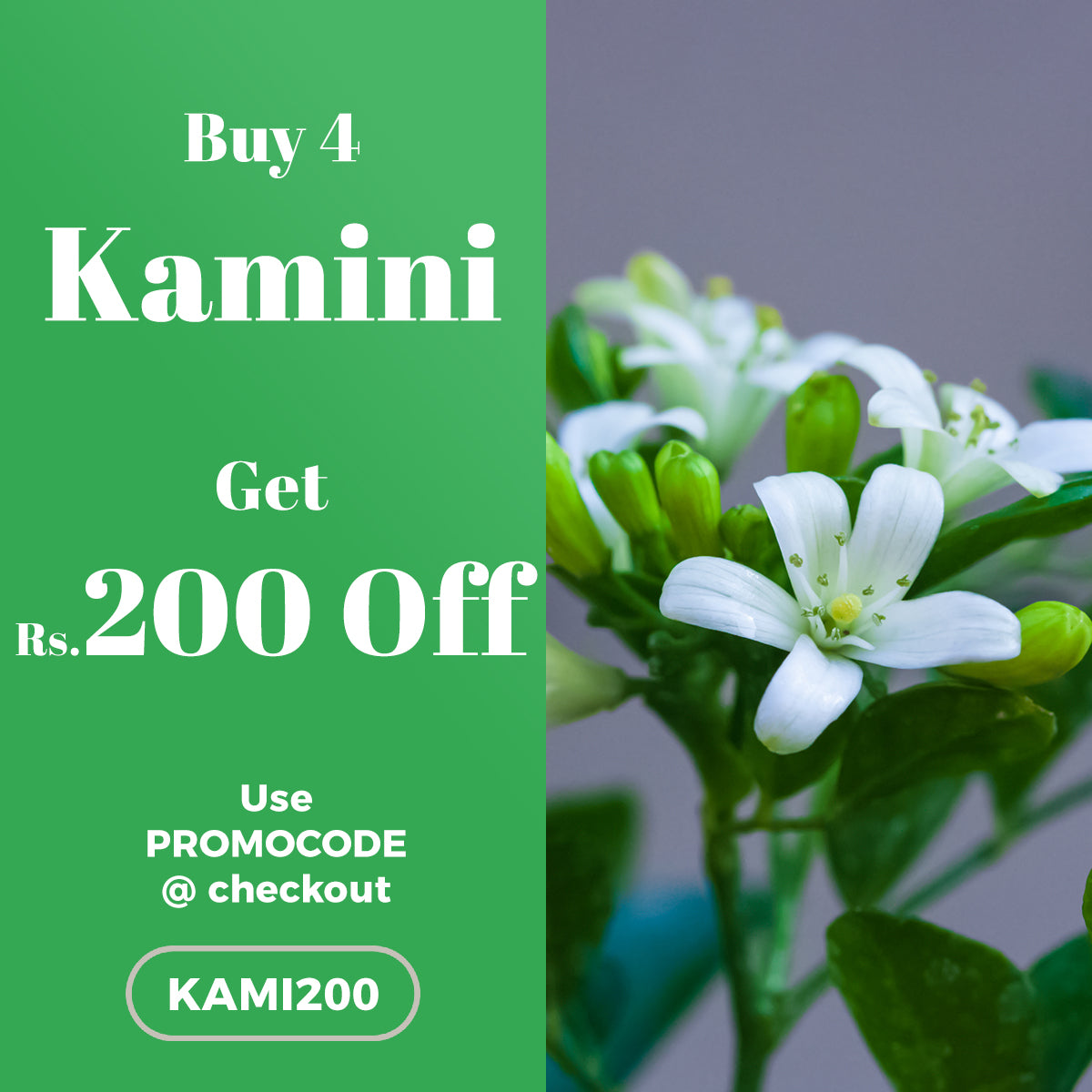 Buy 4 Kamini Plant and get Rs.200 OFF