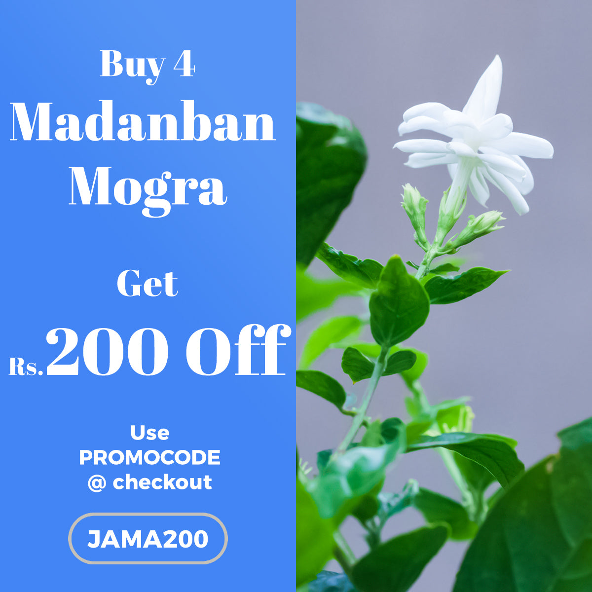 Buy 4 Madanban Mogra Plant and get Rs.200 OFF